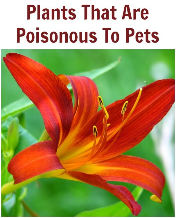 Plants That are Poisonous to Pets