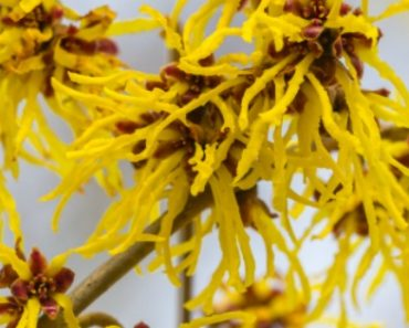 TOTS Family, Parenting, Kids, Food, Crafts, DIY and Travel 9-Surprising-Uses-For-Witch-Hazel-370x297 9 Surprising Uses For Witch Hazel Home TOTS Family Uncategorized  witch hazel natural alternatives