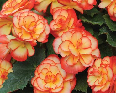 TOTS Family, Parenting, Kids, Food, Crafts, DIY and Travel Begonia-370x297 Plants That are Poisonous to Pets Home Kids Parenting Pets TOTS Family Uncategorized  Poisonous Plants pet new pet Getting a Pet First Pet